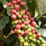 Oromo Coffee Company Coffee Beans