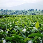 tea field WATCO, Tukuyu